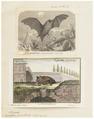 Vespertilio pipistrellus - 1700-1880 - Print - Iconographia Zoologica - Special Collections University of Amsterdam - UBA01 IZ20800171.tif