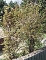 Viburnum farreri2.jpg