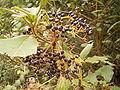 Viburnum rigidum (Breña Alta) 04 ies.jpg