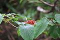 Viburnum sympodiale in Mount Sanqing 20120708-03.jpg