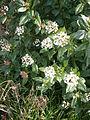 Viburnum tinus 003.JPG