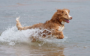 "Nova Scotia Duck Tolling Retriever - The Nova Scotia Duck Tolling Retriever was bred to ""toll"", or lure, ducks into shooting range by causing a disturbance near the shore. After the duck is shot, the dog brings it to the hunter."