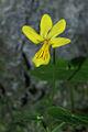 Viola biflora PID968-2.jpg
