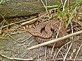 Vipera berus-Kreuzotter SH.jpg