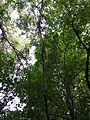 Vitis vinifera subsp. sylvestris sl3.jpg