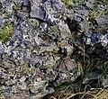 Vitrified stones, Borrodale fort - geograph.org.uk - 300948.jpg