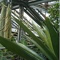 Vriesea tuerckheimii BotGardBln07122011H.jpg