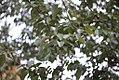 Vrste biljaka u svetosavskom parku u Nišu (6).jpg