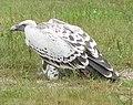 VultureGriffon2.jpg