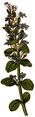 WWB-0053-021-Ajuga reptans-crop.png