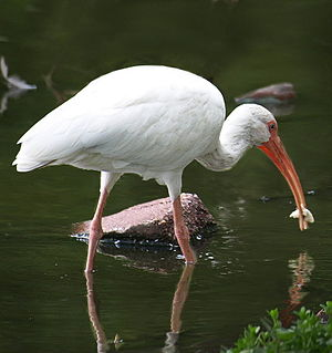 Lafreniere Park - White Ibis foraging in the bayou at Lafreniere Park