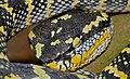 Wagler's Palm Viper (Tropidolaemus wagleri) (8736248032).jpg