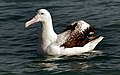 Wandering Albatross (9798389205).jpg