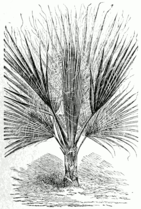 Washingtonia filifera.png