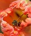 Wasp (65770891).jpeg