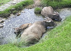 250px-Water_buffalo_bathing