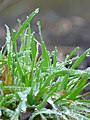 Water droplets on grass - 20 (2011). (27615588040).jpg