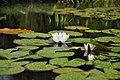 Water lilies, Peize, Netherlands, July 2017.jpg