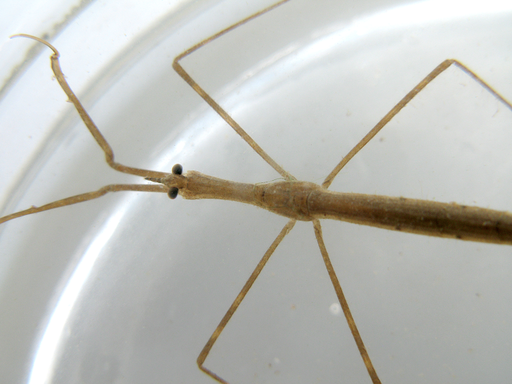 a Water scorpion in a container
