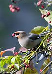 Waxwing eating haw - Korolev, Russia - panoramio.jpg