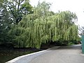 Weeping willow - geograph.org.uk - 969140.jpg