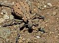 Weevil (Brachycerus sp.) (11688123313).jpg