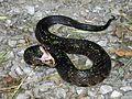 Western Cottonmouth (Agkistrodon piscivorus leucostoma) - Flickr - GregTheBusker (2).jpg