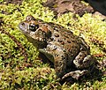 Western toad can better resist disease in more diverse ecosystems.jpg