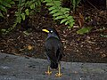 Wet blackbird (Myna) (3652386772).jpg