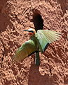White-fronted Bee-eater, Merops bullockoides, at Ezemvelo Nature Reserve, near Bronkhorstspruit, South Africa (21991254453).jpg