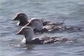 White-headed Flightless Steamer Duck (Tachyeres leucocephalus).PNG