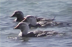 Chubut steamer duck - Image: White headed Flightless Steamer Duck (Tachyeres leucocephalus)