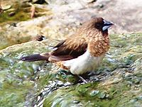 White-rumped Munia.jpg