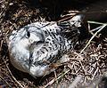 White-tailed Tropic Bird. Pheathon lepturus Younster in nest - Flickr - gailhampshire.jpg