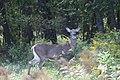 White-tailed deer at Great Bay NWR (4149568189).jpg