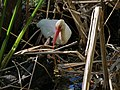 White Ibis foraging in Corkscrew Wildlife Sanctuary (32276827060).jpg