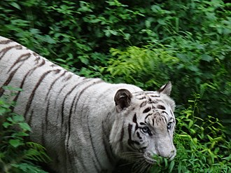 Rajiv Gandhi Zoological Park - White Tiger