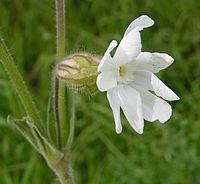 White campion close 700