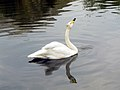 Whooper Swan in the zoo, Rostov-on-don, Russia.jpg