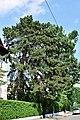 Wien-Penzing - Naturdenkmal 353 - Schwarzkiefer (Pinus nigra).jpg
