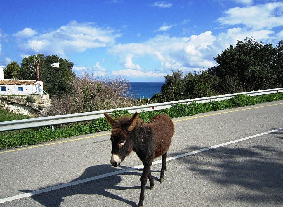 Wild donkeys on Cyprus