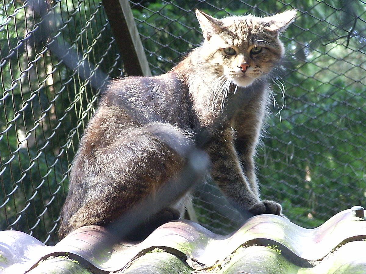 kattefamilien underarter