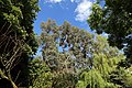 Willingale, Essex, England - The Street garden trees 02 lilac, eucalyptus and willow.JPG