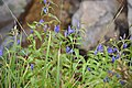 Willow Gentian.JPG