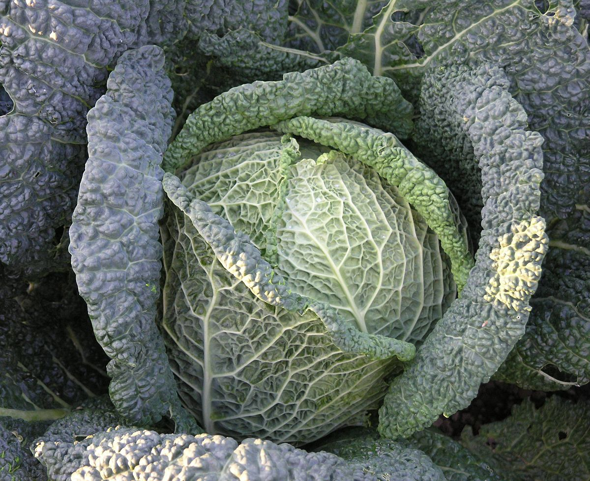 cabbage - Wiktionary