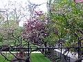 Wisteria, laburnum and cherry tree-138450760.jpg