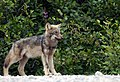 Wolf Puppy In North Of Quebec (56967632).jpeg