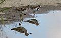 Wood Sandpiper, Tringa glareola, at Marievale Nature Reserve, Gauteng, South Africa (30794510050).jpg