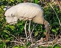 Wood Storks' Nest (27710654083).jpg