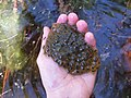 Wood frog egg mass (4621670481).jpg